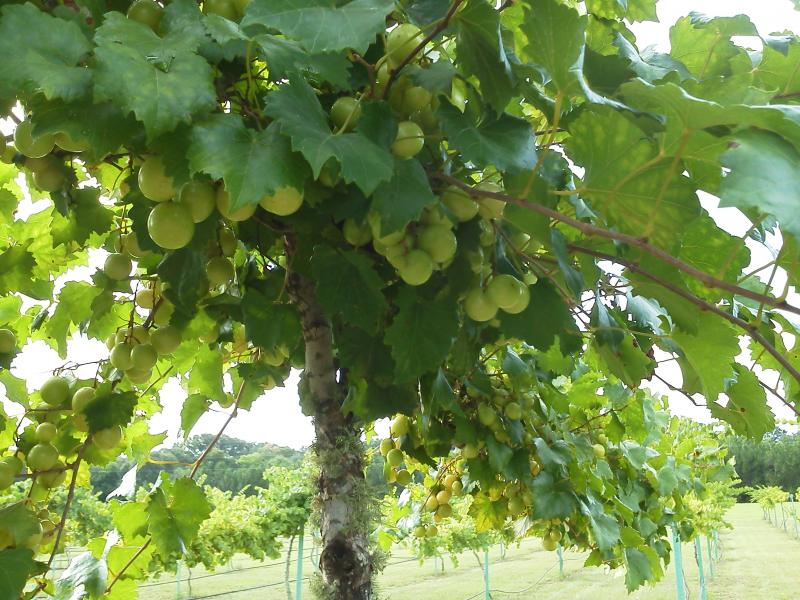 Grapes: almost ripe 2012